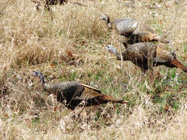 Wild Turkeys - Park