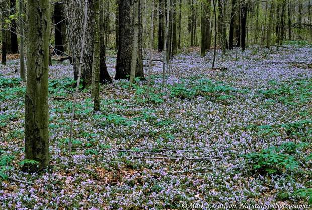 Spring Beauties can carpet an entire section of fertile forest floor. Photo: Mark  S. Carlson