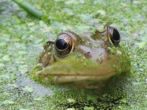 A  'bug-eyed' green frog waits in silent ambush among a carpet of duckweed.