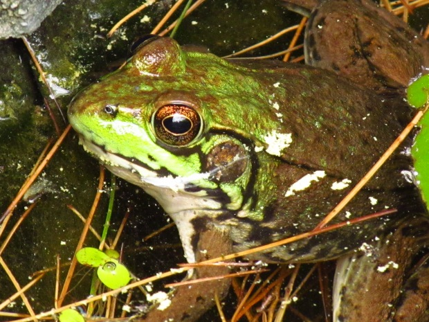 The common green frog thrives in the wetlands and ponds of Oakland County.