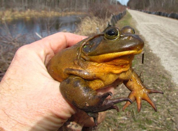They don't get much bigger than this American Bullfrog in West Bloomfield.