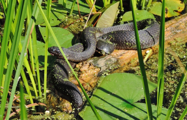The hazy eye of the log-sunning snake indicates shedding is about to occur.