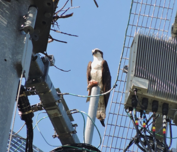 Osprey  feeding on a freshly caught  bass high up in cell tower.