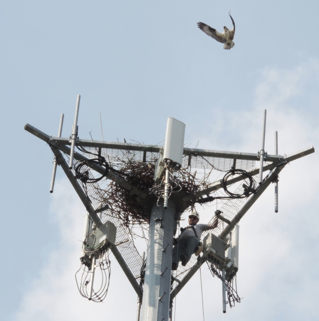 Professional cell tower climber working with Michigan DNR as an adult opsrey hovers above the nest.