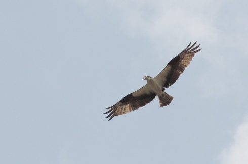 Adult osprey in flight near their cell tower nest.