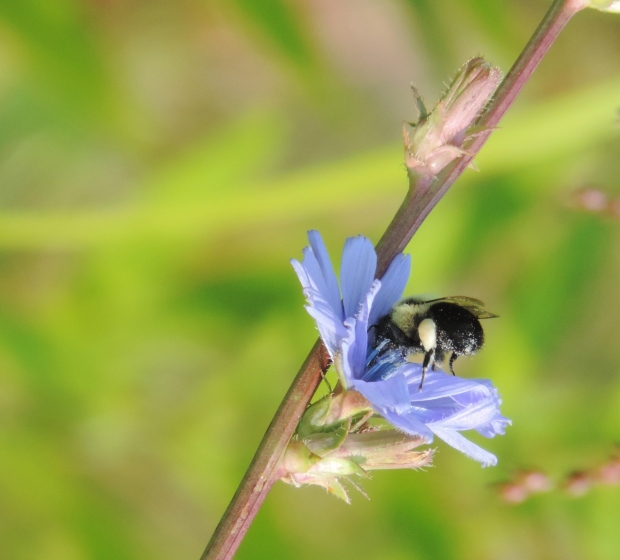 Bees and other insects pay regular visits to the chicory blossoms.