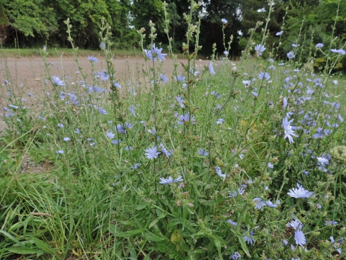 Chicory thrives along the side of many rural county roads.