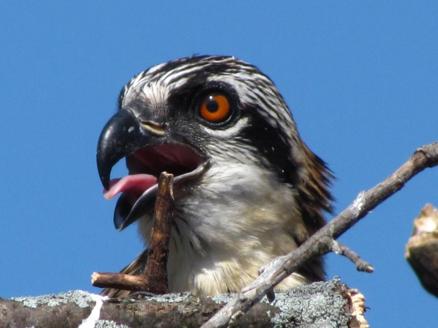 Juvenile osprey peers out of the nest.