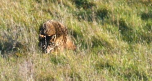 Coyote stalking meadow voles in a Brandon Township meadow. (Photo courtesy of Ron Lapp)