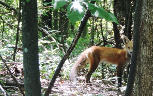 A red fox watches closely after he detects a human ( Jonathan) watching him in the Brandon Township woods they both share.