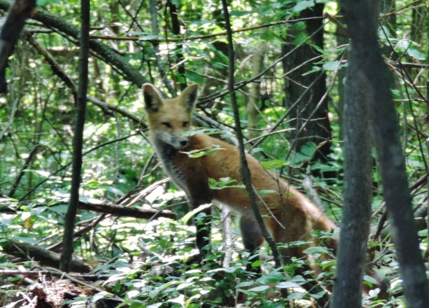 One last glance back and the fox continued on his daily patrol of the woodlands.