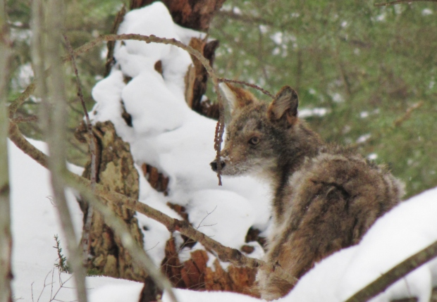 After a surprise cross country ski encounter on a Sleeping Bear Dunes National Lakeshore trail, the coyote and I went our separate ways.