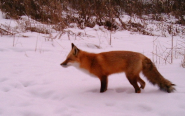 This red fox is hunting for meadow voles in the winter; image captured by trail camera.