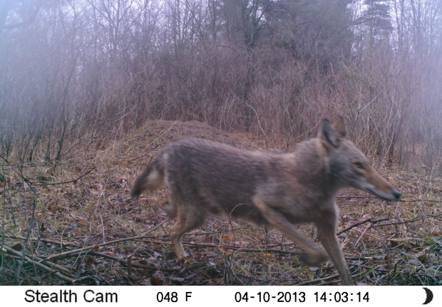 A coyote that tripped an automatic wildlife camera in my wooded yard in Brandon Twp. Note: The elongated snout was a result of slow-shutter speed and the position of the camera.