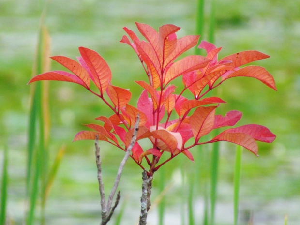 A solitary poison sumac plant adds a splash  of color to a wetland at Rose Oaks County Park.