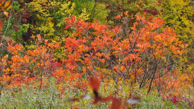 Birds flock to a colorful row of poison sumac  and then feast on the seeds.