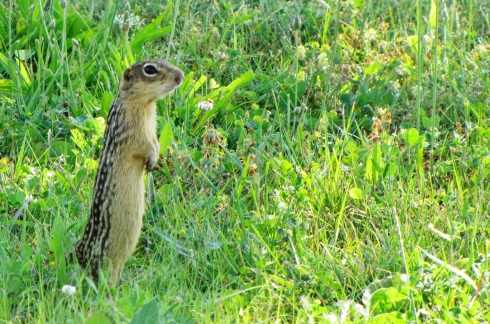 13_lined_ground_squirrel
