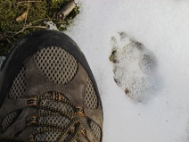 Coyote Track on Buhl Lake Trail