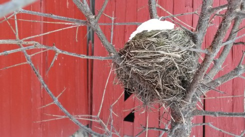 Bird's Nest with white footed mouse