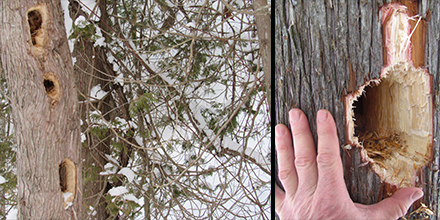 Cavities created by Pileated Woodpeckers are unmistakable.