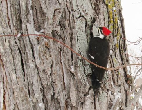 Pileated Woodpecker SBD