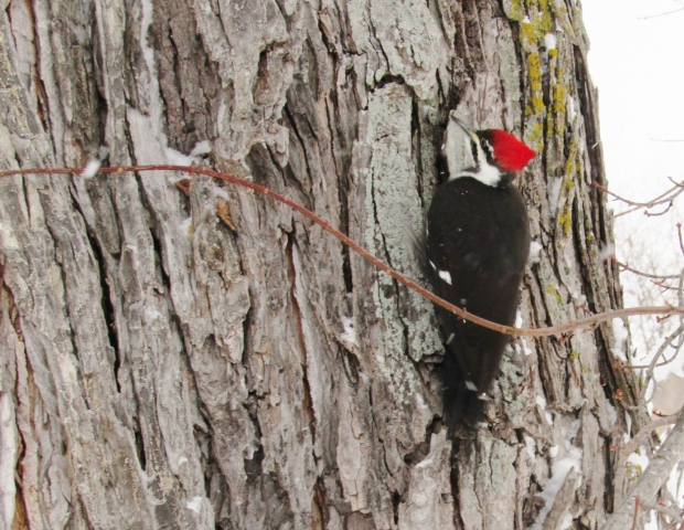 Pileated Woodpecker SBD