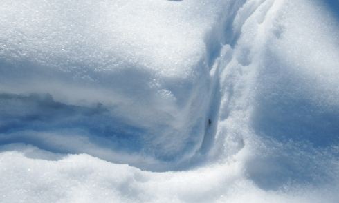 """Skunk tracks are very noticable in deep snow. Their low to the ground bodies often leave a """"plowed"""" path."""